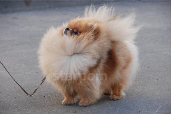 Тип собаки - померанский шпиц