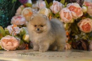 щенок померанского шпица в цветах